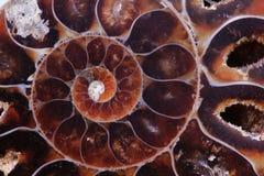 Textura de la amonita Imágenes de archivo libres de regalías