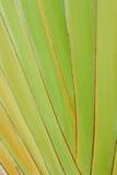 Textura de la carrocería del árbol del viajero Imagen de archivo libre de regalías