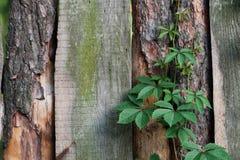 Textura de la cerca de madera vieja con las plantas que suben Fotografía de archivo