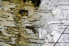 Textura de la corteza de árbol de abedul Imagen de archivo libre de regalías