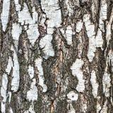 Textura de la corteza de árbol de abedul Imagenes de archivo