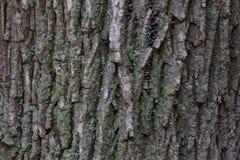 Textura de la corteza de árbol de arce Fotos de archivo