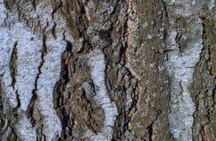 Textura de la corteza de árbol en un árbol de abedul imagen de archivo libre de regalías