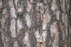 Textura de la corteza de árbol de pino foto de archivo libre de regalías