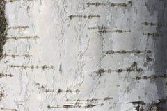 Textura de la corteza de abedul Imagenes de archivo