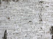 Textura de la corteza de abedul Fotografía de archivo
