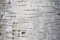 Textura de la corteza de abedul Imagen de archivo