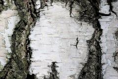 Textura de la corteza de abedul Imagen de archivo libre de regalías