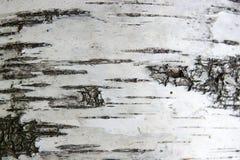 Textura de la corteza de abedul como fondo abstracto Fotografía de archivo libre de regalías