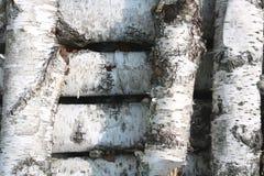 Textura de la corteza de abedul como fondo de madera natural Fotos de archivo libres de regalías
