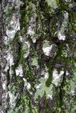 Textura de la corteza de abedul con el musgo y el liquen Fotos de archivo libres de regalías