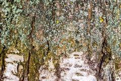 Textura de la corteza de abedul con los rastros de grietas y de moss_ Imagen de archivo