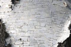 Textura de la corteza de abedul para el fondo natural Imagen de archivo