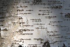 Textura de la corteza de abedul para el fondo natural Foto de archivo
