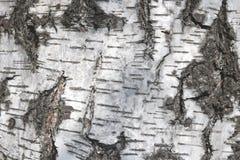 Textura de la corteza de abedul para el fondo natural Foto de archivo libre de regalías
