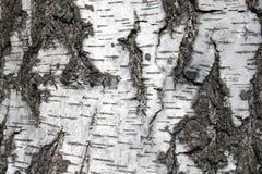 Textura de la corteza de abedul para el fondo natural Fotografía de archivo libre de regalías