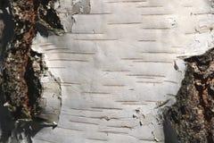 Textura de la corteza de abedul para el fondo natural Fotografía de archivo