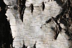 Textura de la corteza de abedul para el fondo natural Imagenes de archivo