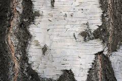 Textura de la corteza de abedul para el fondo natural Imagen de archivo libre de regalías