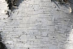Textura de la corteza de abedul para el fondo natural Fotos de archivo