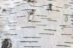 Textura de la corteza de abedul para el fondo natural Fotos de archivo libres de regalías