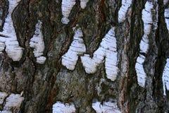 Textura de la corteza de abedul Primer del fondo natural Fotos de archivo libres de regalías