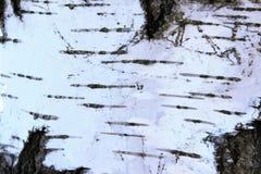 Textura de la corteza de abedul Primer del fondo natural Textura de madera Imagen de archivo