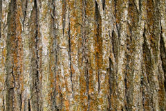 Textura de la corteza de árbol Imagen de archivo