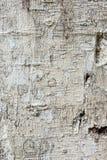 Textura de la corteza de árbol Imágenes de archivo libres de regalías