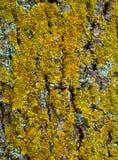 Textura de la corteza de árbol con el musgo Foto de archivo libre de regalías