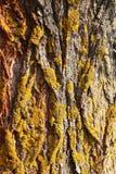 Textura de la corteza de árbol con el musgo Imágenes de archivo libres de regalías