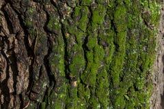 Textura de la corteza de árbol con el musgo Fotos de archivo
