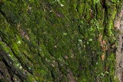 Textura de la corteza de árbol con el musgo Imagen de archivo
