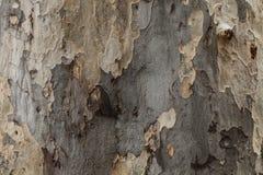Textura de la corteza de árbol con el musgo Fotografía de archivo libre de regalías