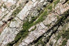Textura de la corteza de árbol con el musgo verde Fondo Imágenes de archivo libres de regalías