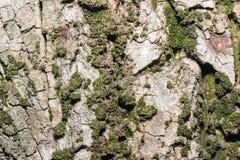 Textura de la corteza de árbol con el musgo verde Fondo Fotos de archivo