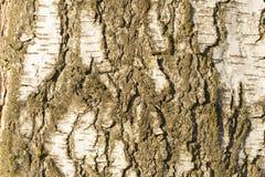 Textura de la corteza de árbol de abedul Foto de archivo libre de regalías