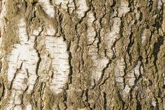 Textura de la corteza de árbol de abedul Fotografía de archivo