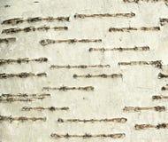 Textura de la corteza de árbol de abedul Fotos de archivo libres de regalías