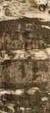 Textura de la corteza de árbol de abedul cubierta con el musgo verde Imágenes de archivo libres de regalías