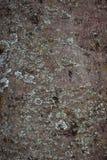 Textura de la corteza de árbol del álamo temblón Imagenes de archivo