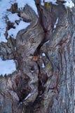 Textura de la corteza de árbol en nieve Imágenes de archivo libres de regalías