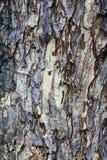 Textura de la corteza de árbol, fondo Imagen de archivo libre de regalías