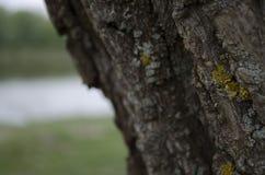 Textura de la corteza de árbol Fondo de madera Foto de archivo