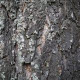 Textura de la corteza de árbol para el fondo Fotos de archivo libres de regalías
