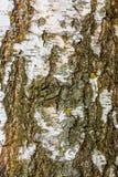 Textura de la corteza de abedul Fotos de archivo libres de regalías