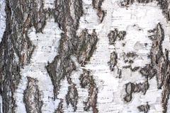 Textura de la corteza de abedul Imágenes de archivo libres de regalías
