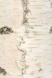 Textura de la corteza de abedul blanco, fondo abstracto Imagenes de archivo