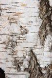 Textura de la corteza de abedul como fondo abstracto Fotos de archivo libres de regalías
