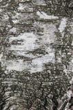 Textura de la corteza de abedul como fondo abstracto Foto de archivo